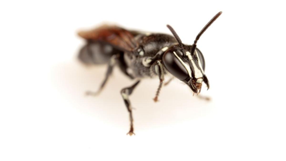 Une abeille australienne reperee pour la premiere fois depuis un