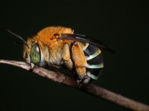 abeille australienne siecle